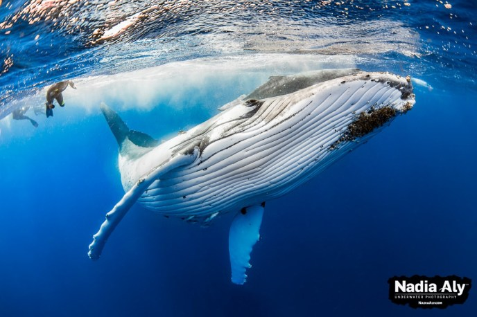 Nadia Aly Humpback Whales Underwater Photography