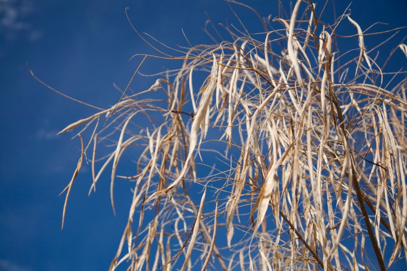 You can find desert willow seed from it's pods when they already turn brown and dry