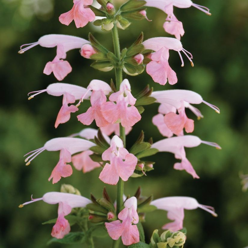 Summer jewel pink is a native shrub that can resist humidity, heat, and drought