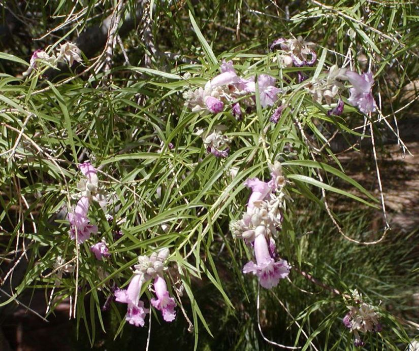 Desert willow is popular ornamental tree that related to catalpa trees, yellowbells, and trumpet vine