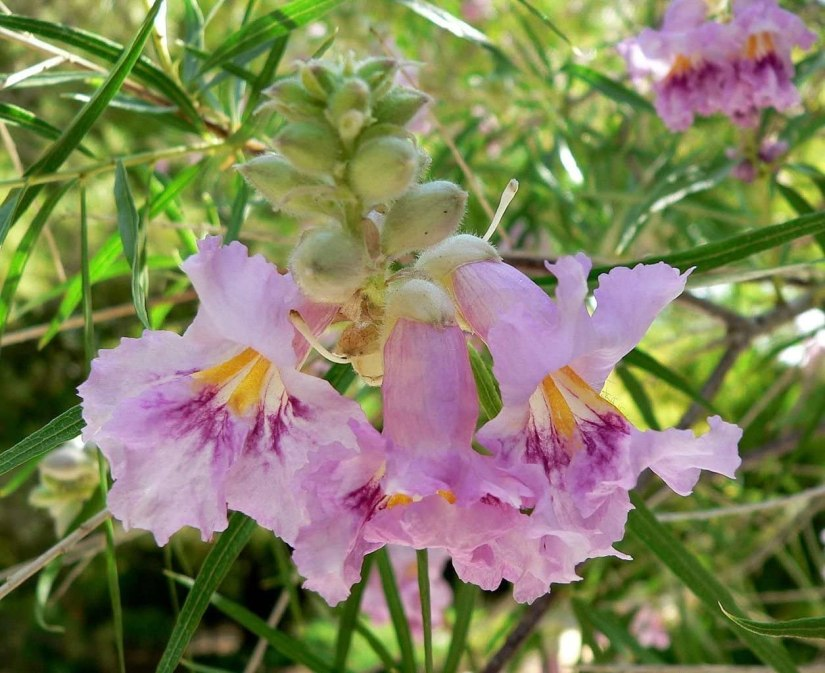 Paradise desert willow is a suitable flower for hot, sunny, poor soil sites
