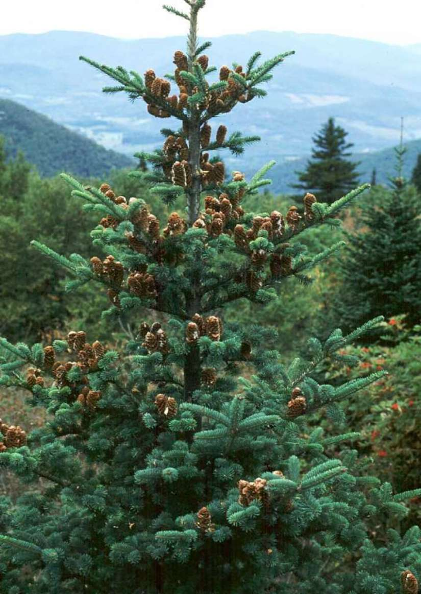 The balsam fir grows to a height of 45–75' and a spread of 20–25' at maturity