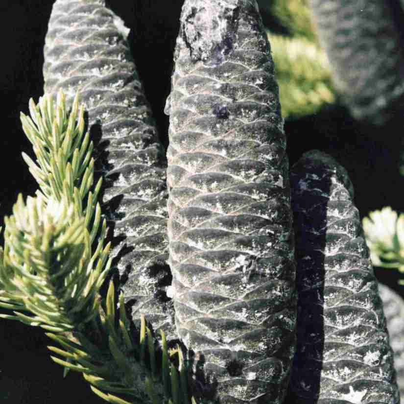 The dark purple color balsam fir cones turns into a grayish-brown hue as the fruits mature