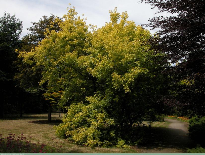Acer Negundo Auratum is the most attractive tree, especially for application in parks, on squares and in gardens
