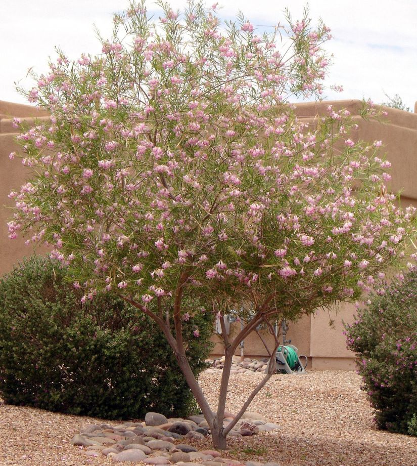 Desert willow tree have really good drought resistant and have good vibe flowers colors