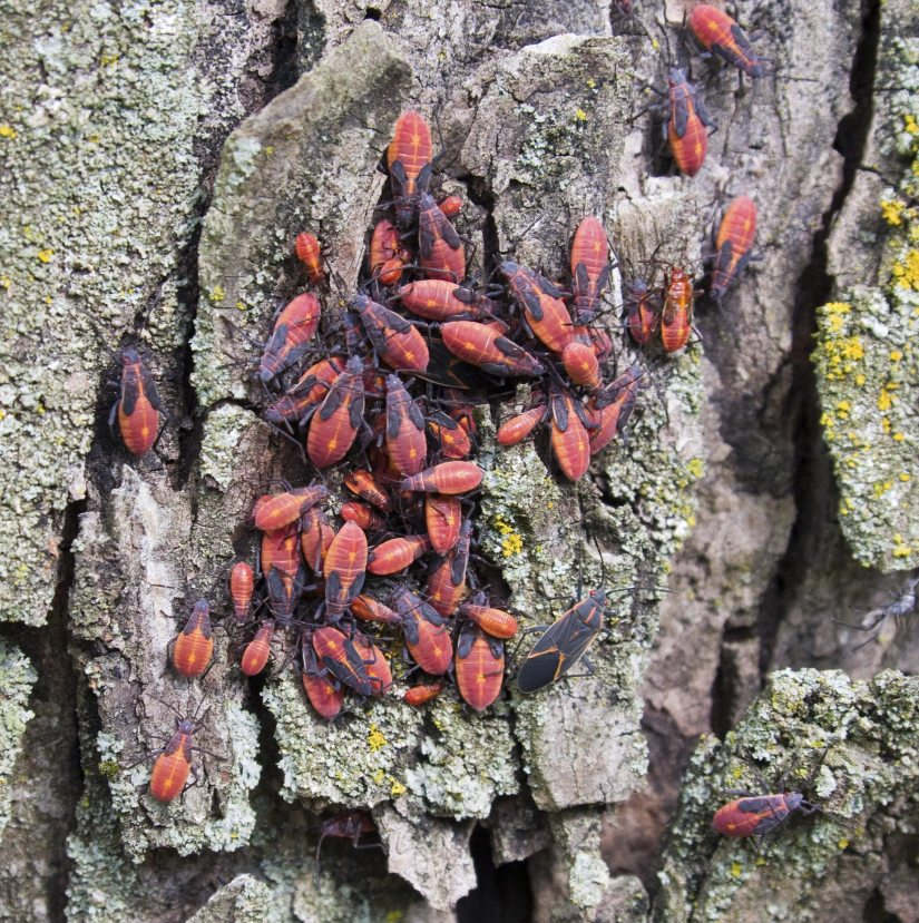 Box elder bugs are primarily a nuisance pest, however their fecal material can cause a red stain on curtains, drapes, clothing, etc. Pests tend to hide in small cracks and crevices in walls to insulate themselves from the cold winter temperatures.
