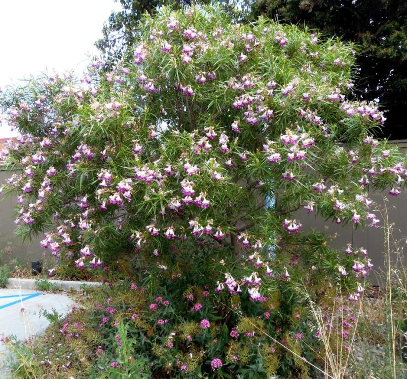 Desert willow is popular because have exotic-looking blooms, rapid growth, drought tolerance, and ease of maintenance