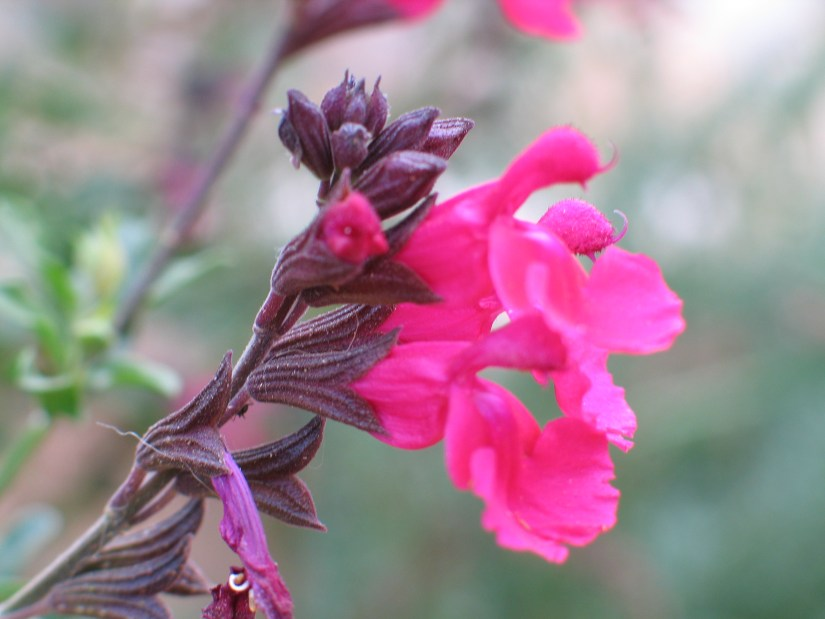 Lady in red sage also know as Texas sage is the best scarlet-flowering tropical plant that have obtained award