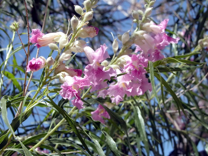 Desert willow enhances the oasis feeling and it's a valuable food resources for native wildlife