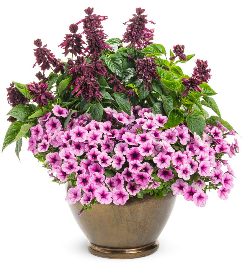 Ablazin is scarlet sage that have purple flowers and dark burgundy calyces it's really perfect to planting in pots