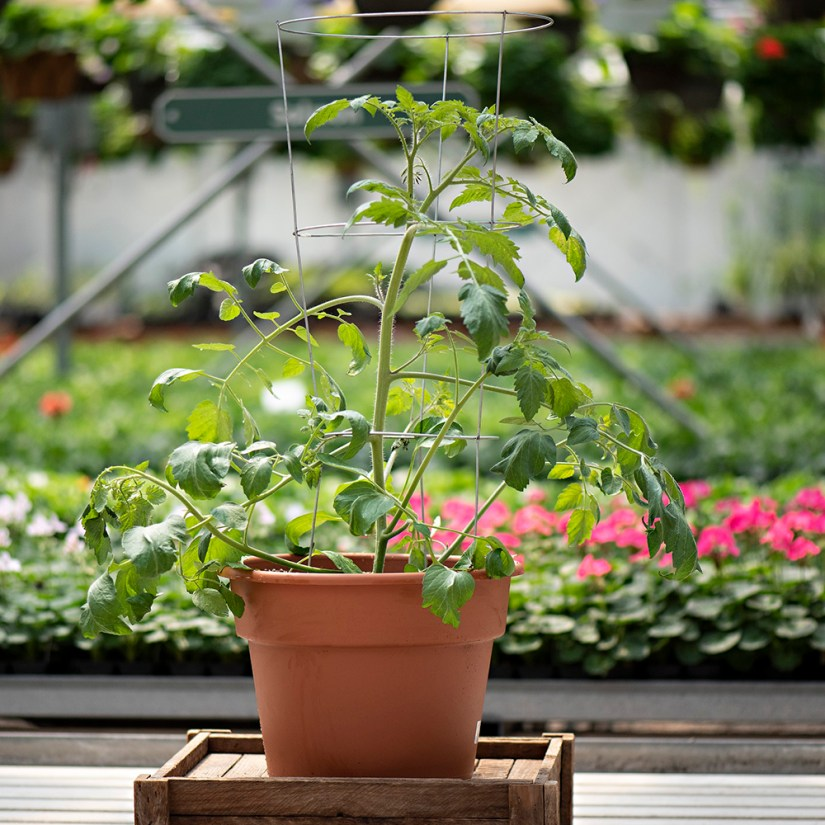 Tips for growing roma tomatoes plant in pots