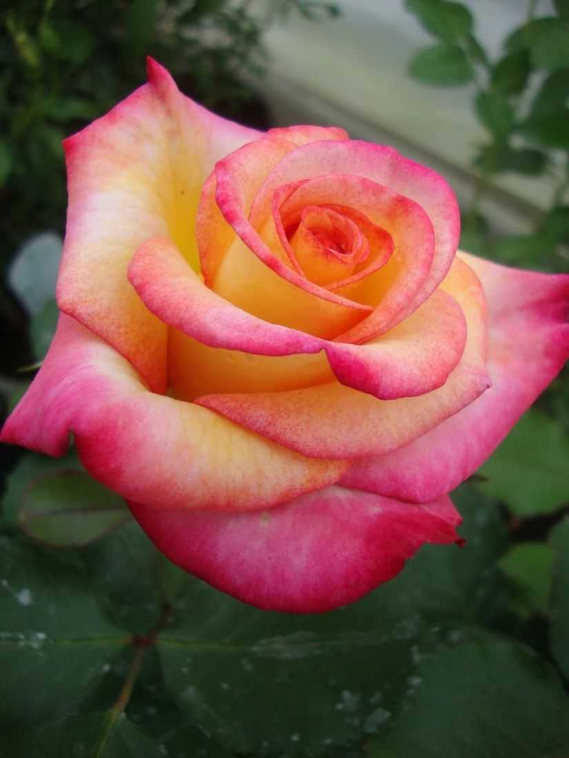 Dream come true produces flawlessly yellow blossoms, blushed with ruby-red at the tips, set among matte green foliage.