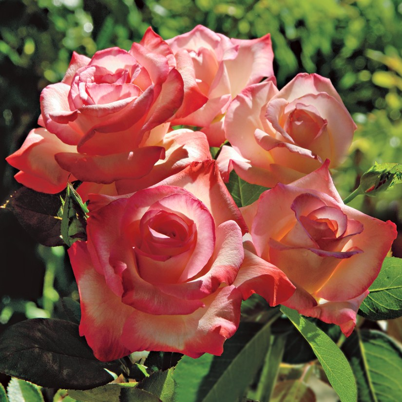 Gemini rose one of the most beloved and trouble-free rose species with gorgeous coloration a hint of papaya and bloom form.