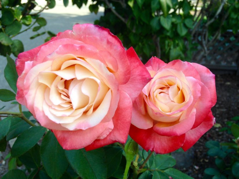 Coretta Scott King Rose is named based from the wife Martin Luther King, Jr., this flower showing a creamy white base that ignites at the edges with an almost indescribable coral-orange-pink-blush.