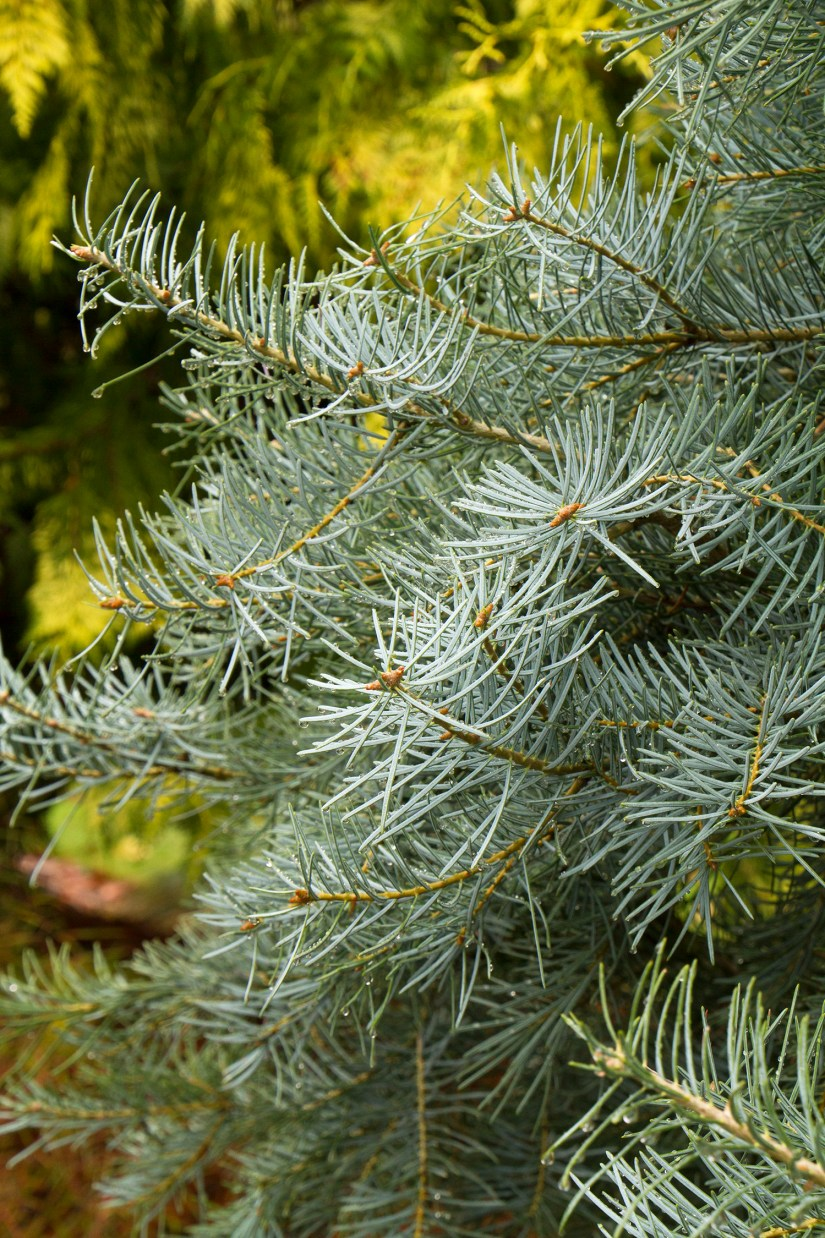 Blue Cloak beautiful dwarf conifer with striking powder blue foliage is a dense, semi-pendulous selection of white fir with thin, soft-blue needles.