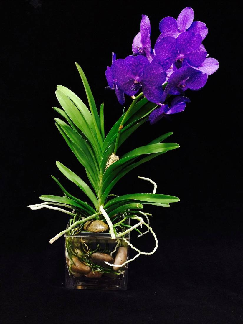 Purple vanda orchid have stunning beautiful extra ordinary decorative rich colour purple flowers.
