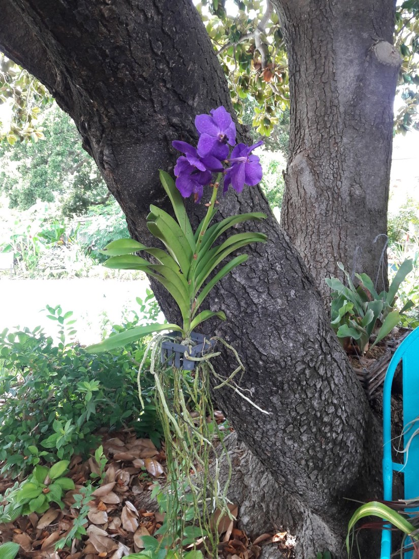 In their native habitat, Vanda orchid plants hang from trees in nearly soilless media.