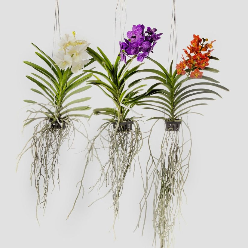 So far the easiest way to care for orchids indoors is to hang them in a pot, or slatted basket, with no media.