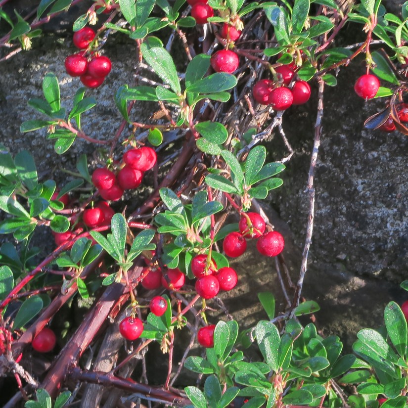 Bearberry is a low growing ground cover that usually tops out between 6 and 12 inches.
