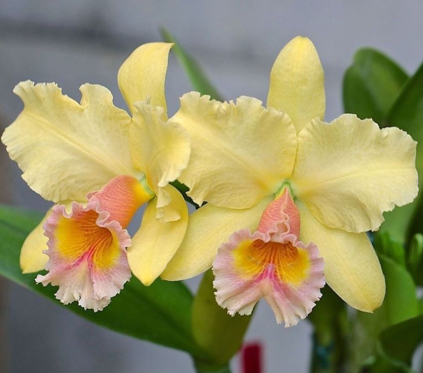 The cattleya orchid group is known for large, showy, and sometimes fragrant flowers. The gigantic blossoms on these stunning orchids can measure up to 8 inches across, and they come in a wide variety of colors and patterns