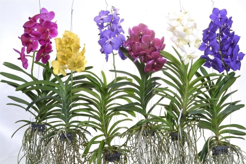Most commonly known vanda orchid species are V. coerulea, V. sanderiana, and V. tessellata.