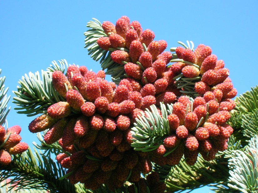 Noble fir cones have distinctive whiskery bracts that protrude beyond the scales.