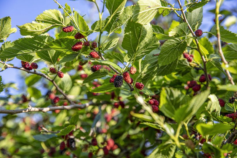 Harvest season begins mid-June thru August. Fruit will be large, sweet and black when fully ripe. You can hand pick or lay a sheet or tarp under the mulberry tree and shake the branch gently.