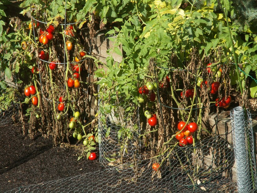 When fruitful, you'll need sturdy supports, either tomato stakes or cages, to hold them because each can produce heavy yields.