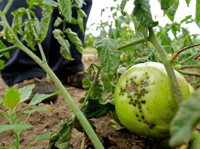 Tomato blight refers to a family of diseases caused by fungus-like organisms that spread through potato and tomato foliage, particularly during wet weather.