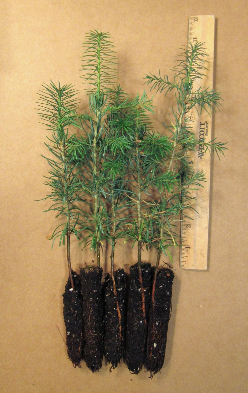 Concolor Fir are shade tolerant, and grow on both moist loamy soils and drier sandy soils, and provide good privacy due to their dense foliage.