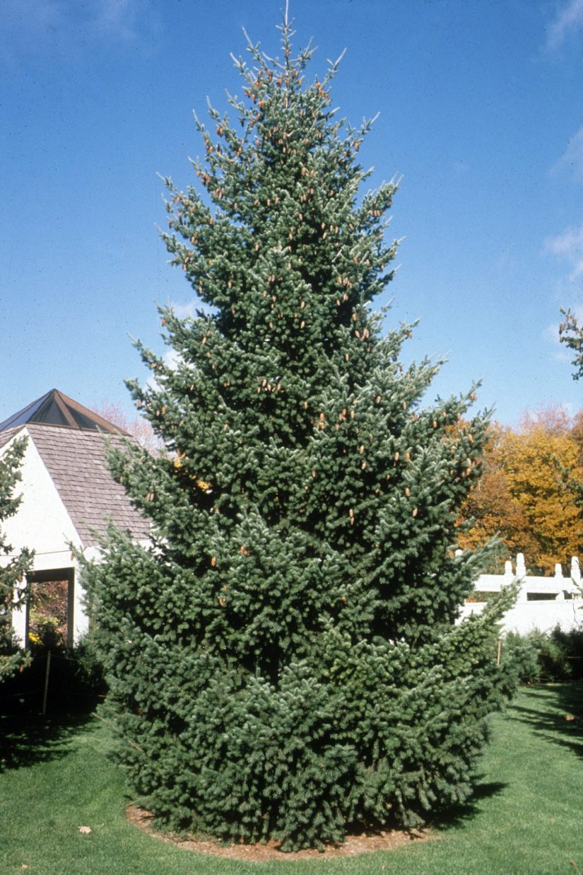 Douglas fir is a straight-trunked tree, with a spire-like crown, and the capacity to grow over 300 feet tall.