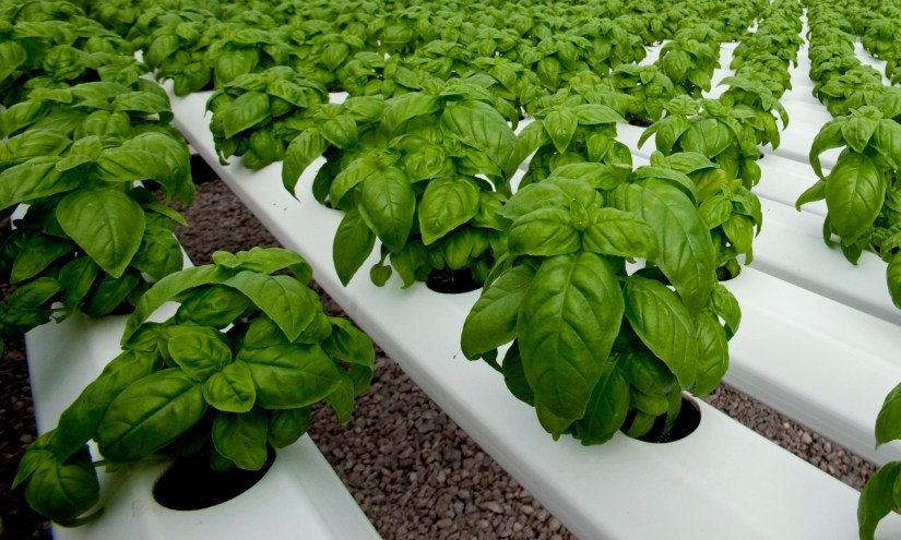 Basil is a popular crop for container and hydroponic production because of its high value, ease of production, and quick crop time.