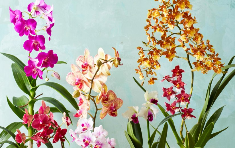 Orchids belong to the Orchidaceae family and have 800 known genera, over 25,000 species and over 100,000 hybrids and cultivars. They are found all over the world except in Antartica. The different types vary extremely in size, weight and color.
