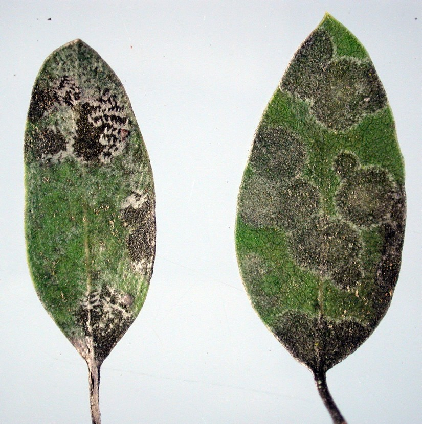 Symptoms Brown, dead, or dying spots on leaves. Many of these leaf spots will look similar and can be difficult to identify from casual observations.