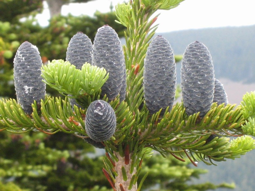 The staminate cones are seen growing straight downward from the under side of the young branches in lavish profusion, making fine purple clusters amid the grayish-green foliage.