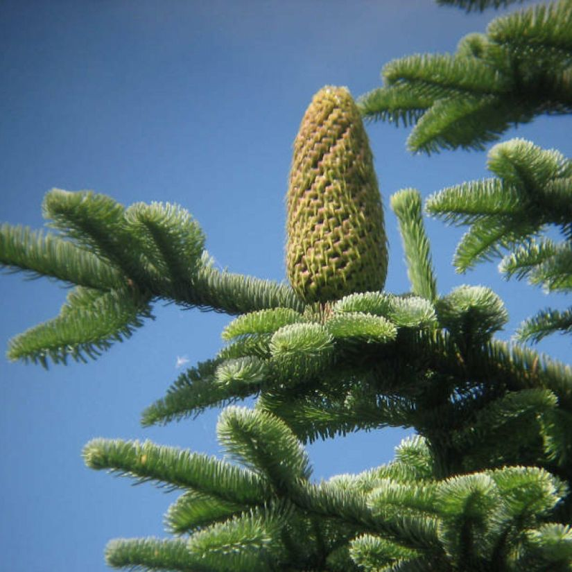 Like all firs, the cones of Red and White Firs stand erect on the branches. They are blunt cylinders that grow erect only near or at the very tips of the trees.