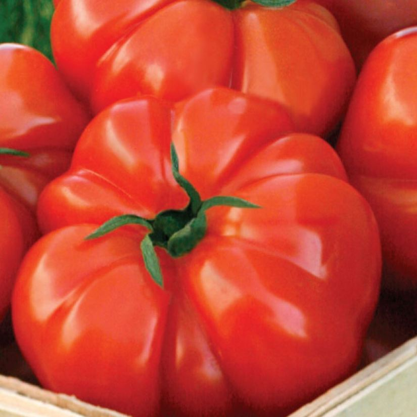 Beefsteak tomato is one of the largest varieties of cultivated tomatoes that become one of the favorite tomato varieties for the home garden.
