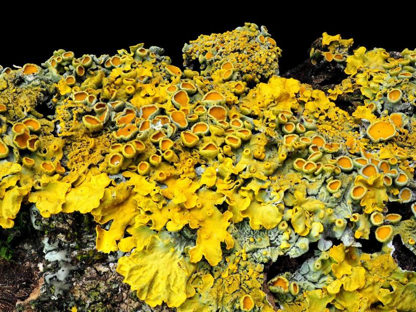 Xanthoria parietina is a foliose, or leafy, lichen. It can be found near the shore on rocks or walls, and also on inland rocks, walls, or tree bark.