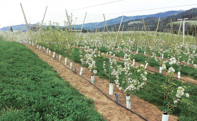 Preparation planting and caring for pear trees is similar to that of apple trees.