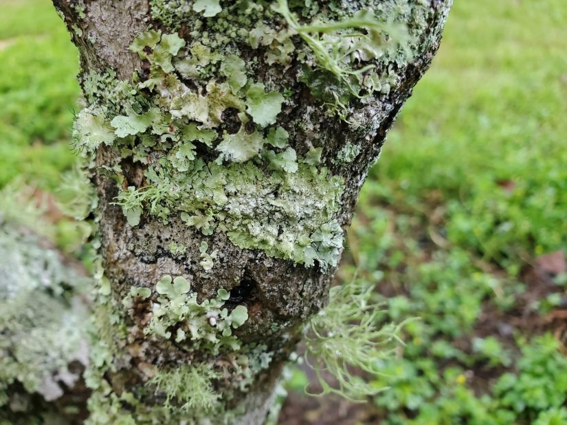 Those green-blue growths that you see on tree trunks and branches are not mosses. They are lichens, they are composed of two or more different organisms.