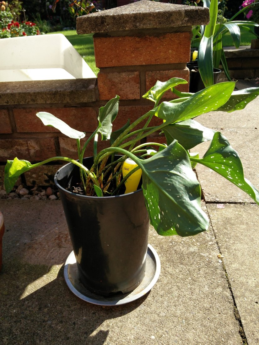 Container growing calla lily are usually watered when the first inch or two of the soil is dry to the touch.