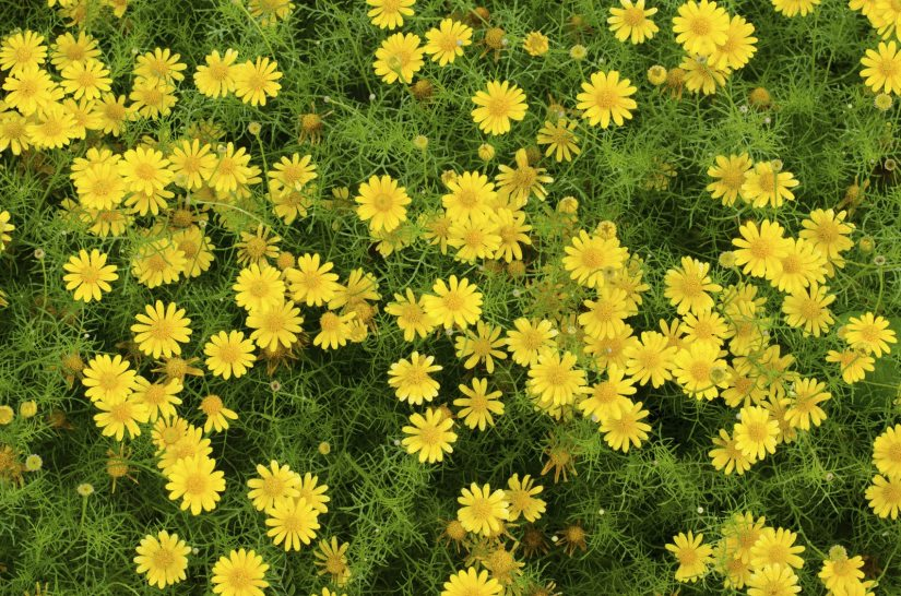 Dahlberg daisy plants are drought tolerant annuals with a profusion of cheerful yellow blooms.