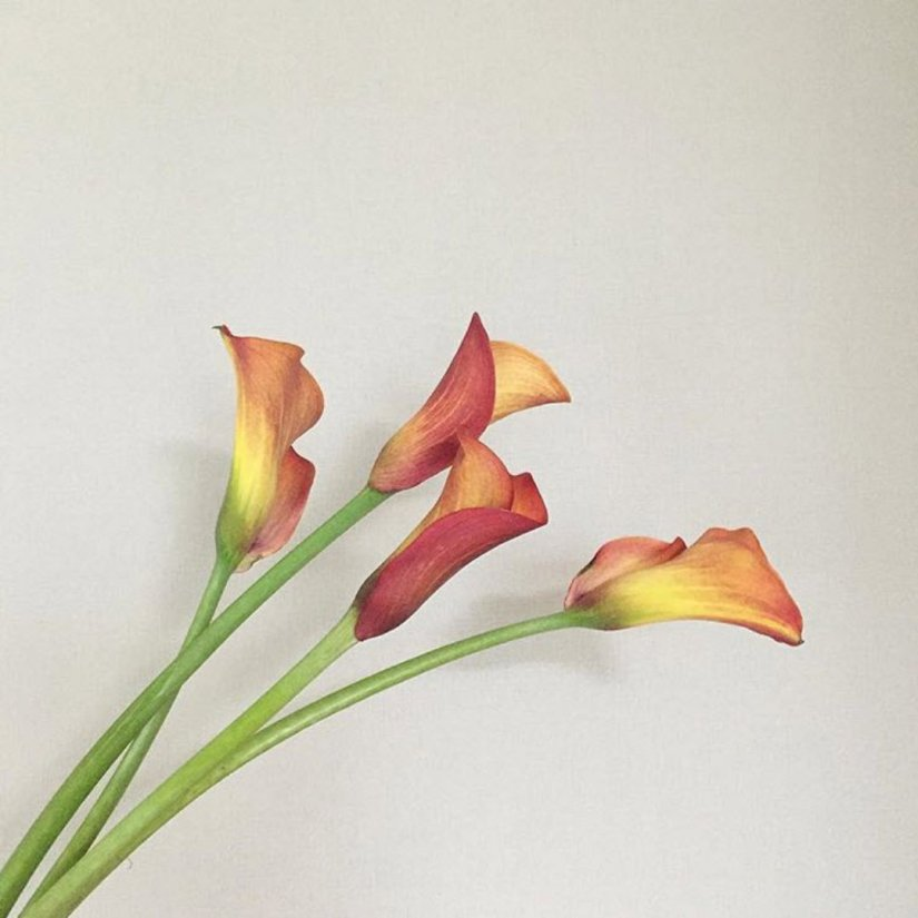 Calla lily available in a multitude of colors, grows from rhizomes and is ideal for use in beds and borders.