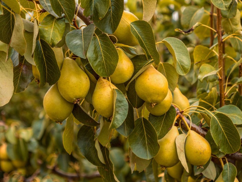 Pear tree are rewarding to grow, as many types can produce delicious fruits, and they have an ornamental beauty all year round.