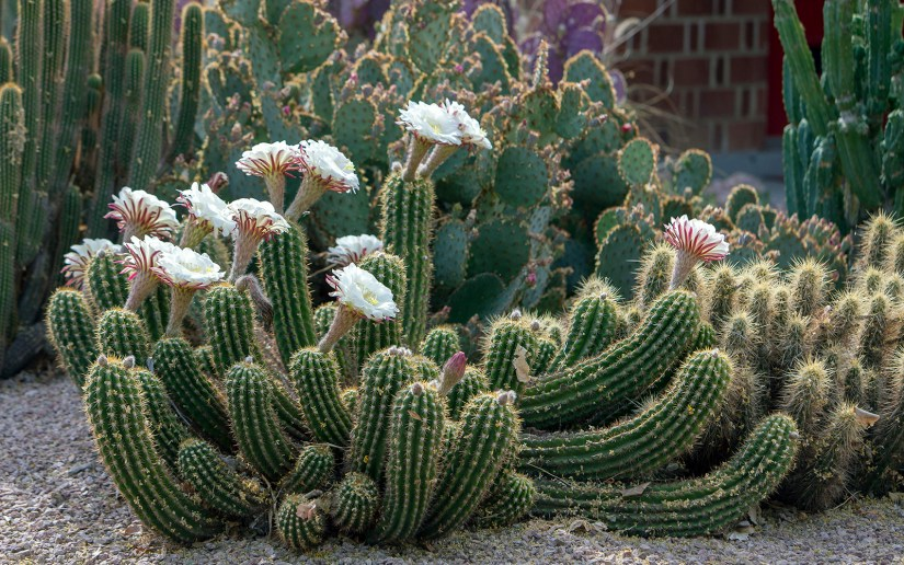Echinopsis candicans has a shrubby growth habit, with individual stems up to 60 cm (24 in) tall.
