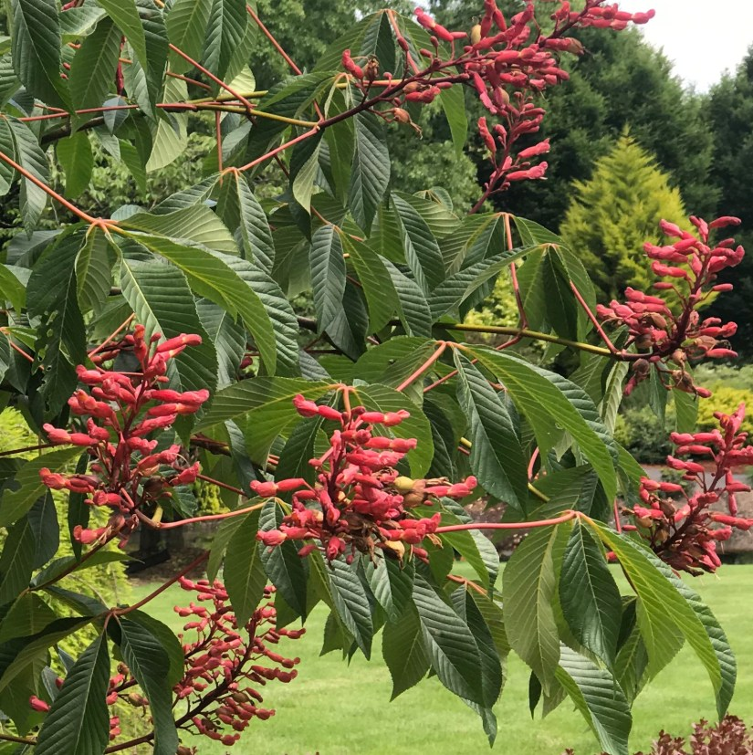 Aesculus glabra, commonly called Ohio buckeye, is native from western Pennsylvania to Iowa south to Alabama and Arkansas.