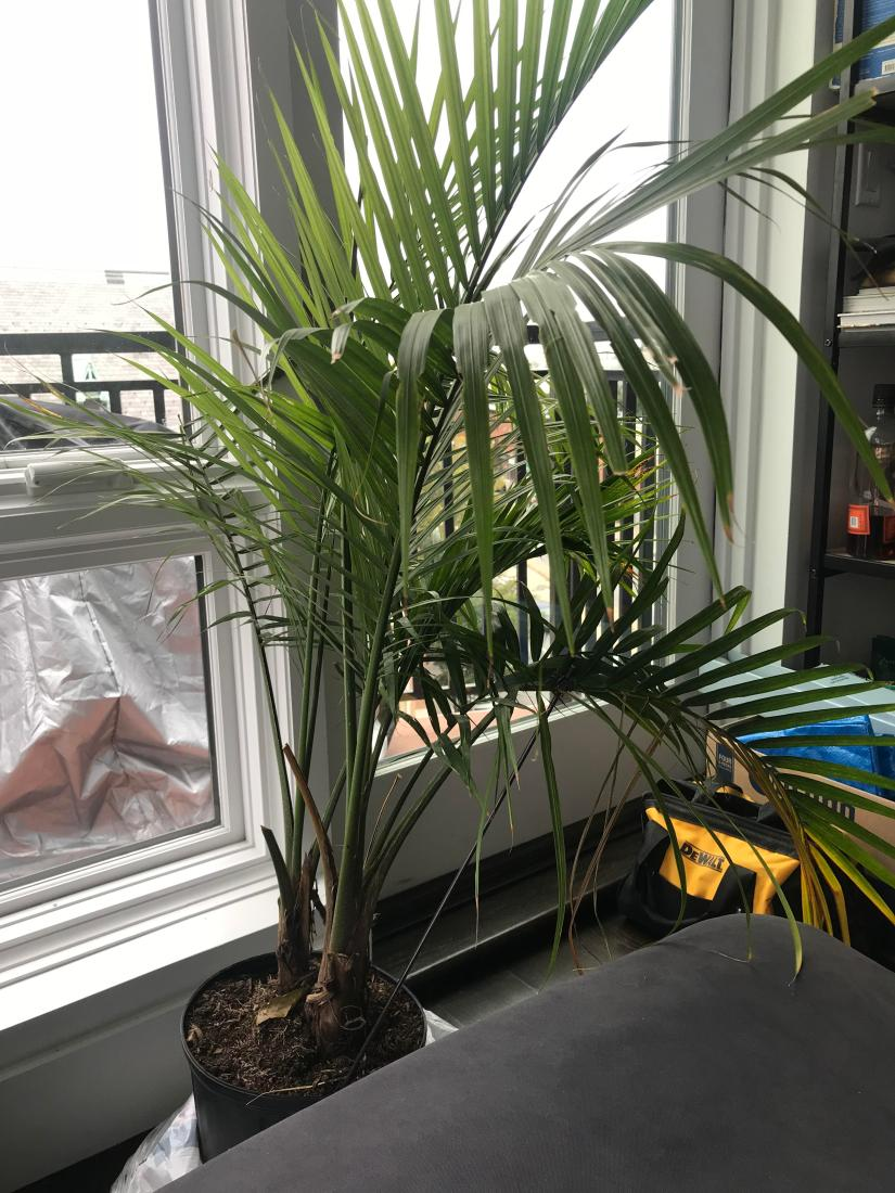 Bearing long green, regal fronds, this plant is perfect for gracing any indoor space. A common houseplant, majesty palm grows slowly, becoming larger and more elegant with time and care.