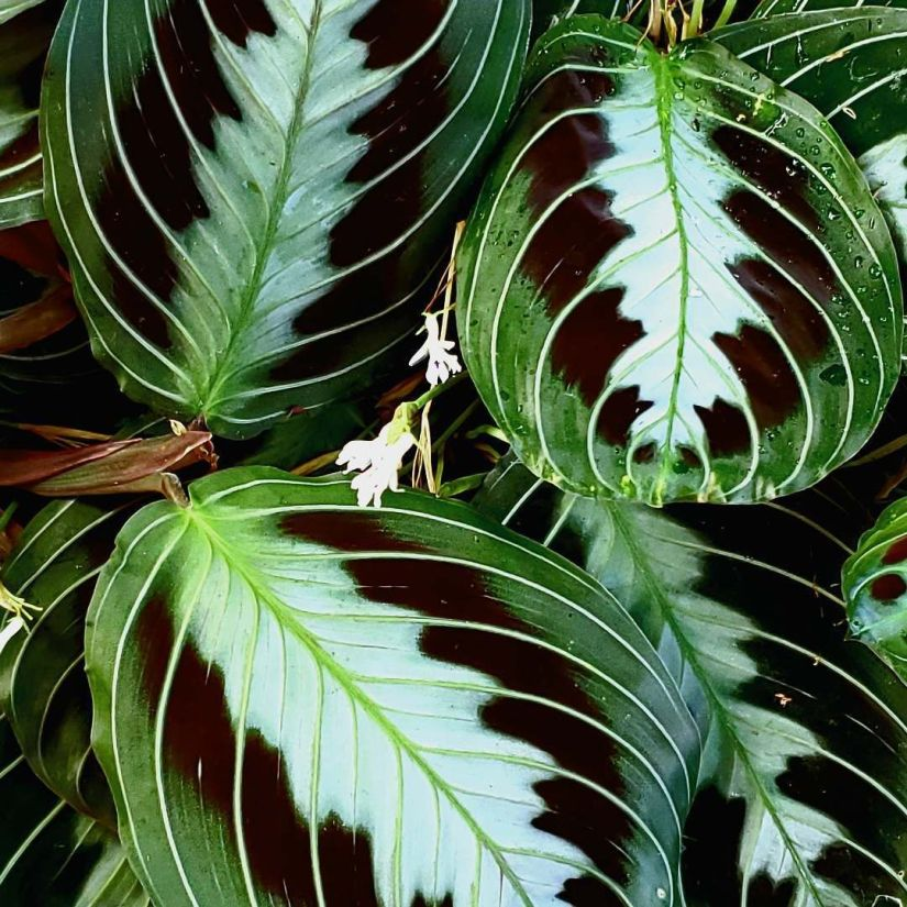 Maranta leuconeura massangeana has the pattern of the tricolour variety but has a dark green/black velvety leaf with no red.