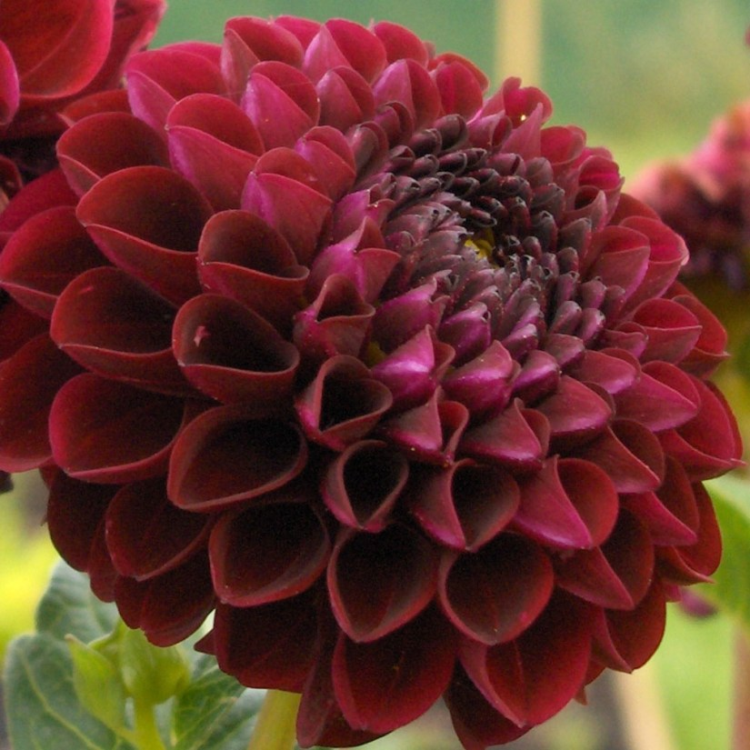 Decorative Dahlias can be formal with flat petals evenly and regularly placed throughout the flowers, or informal with generally flat petals, sometimes slightly rolled at the tips, but with irregular arrangement of formation.