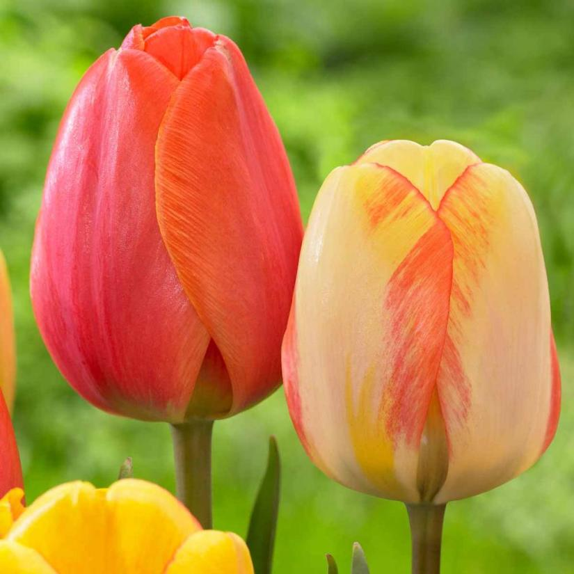 A stately tulip with large, scarlet red petals that are edged in golden yellow. Landscapers love Ad Rem because it always puts on a great show of color.